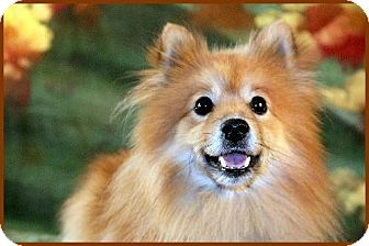 Pomeranian Dog for adoption in Dallas, Texas - Buddy