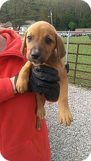 Beagle/Spaniel (Unknown Type) Mix Puppy for adoption in Baltimore, Maryland - Brownie