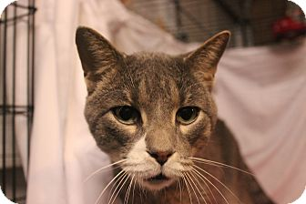 Domestic Shorthair Cat for adoption in Jerseyville, Illinois - Chance