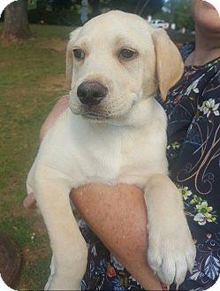 Labrador Retriever/Basset Hound Mix Puppy for adoption in Allentown, New Jersey - Elliot