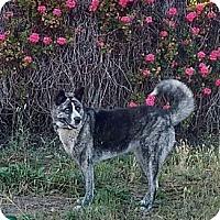 Adopt A Pet :: Azulia - Cerritos, CA
