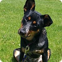 Adopt A Pet :: Honey - Schaumburg, IL