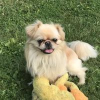 Adopt A Pet :: Tommy - West Allis, WI