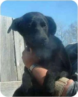 Husky/Labrador Retriever Mix Dog for adoption in Makinen, Minnesota - Sara