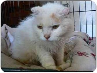Persian Cat for adoption in E. Wareham, Massachusetts - Flame