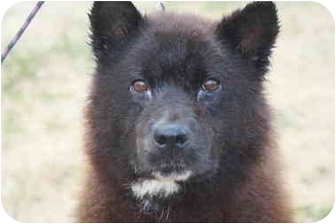 Chow Chow Mix Dog for adoption in Shelbyville, Kentucky - Smokey Bear