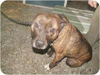 American Pit Bull Terrier Mix Dog for adoption in Cincinnati, Ohio - Buddy - Courtesy Post
