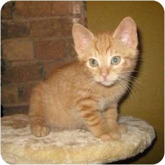 Domestic Shorthair Kitten for adoption in Toronto, Ontario - Jessie