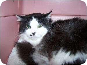 Domestic Mediumhair Cat for adoption in Colorado Springs, Colorado - Melody