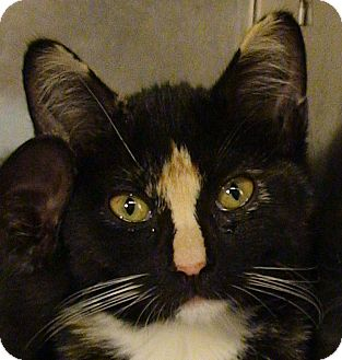 Calico Kitten for adoption in El Cajon, California - Sabrina
