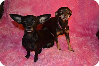 Chihuahua Dog for adoption in Cranford, New Jersey - Evie
