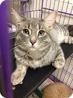 Domestic Shorthair Cat for adoption in Warren, Michigan - Kashi