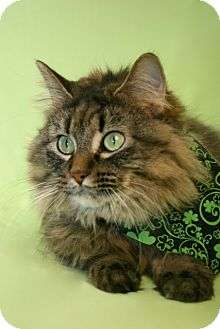 Domestic Longhair Cat for adoption in Green Bay, Wisconsin - Bindy