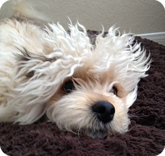 Maltese/Yorkie, Yorkshire Terrier Mix Dog for adoption in Orange, California - Toby 3