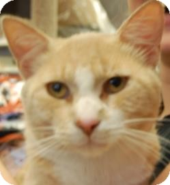 Domestic Shorthair Kitten for adoption in Brooklyn, New York - Guston