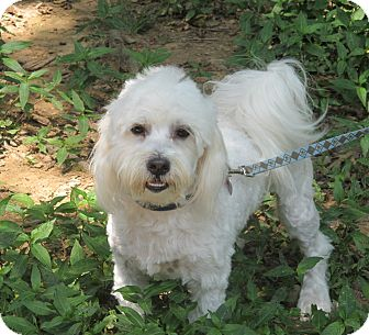 Poodle (Toy or Tea Cup)/Shih Tzu Mix Dog for adoption in Harrisonburg, Virginia - Pistachio