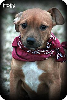 Golden Retriever/Boxer Mix Puppy for adoption in Cranford, New Jersey - MOLLY