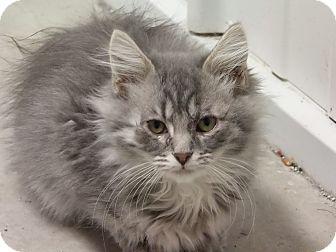 Manx Kitten for adoption in Pinehurst, North Carolina - Glinda
