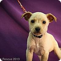 Adopt A Pet :: Rudolf - Broomfield, CO