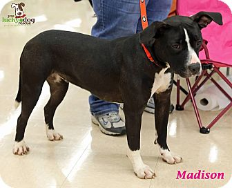 Pit Bull Terrier Mix Dog for adoption in Alpharetta, Georgia - Madison