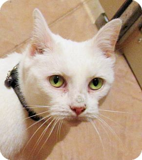 Domestic Shorthair Cat for adoption in Plymouth Meeting, Pennsylvania - Georgina