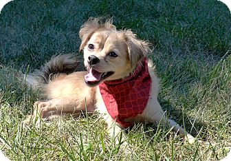 Spaniel (Unknown Type)/Tibetan Spaniel Mix Dog for adoption in Mocksville, North Carolina - Toby