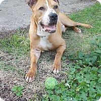 Adopt A Pet :: BRUNO - CHAMPAIGN, IL
