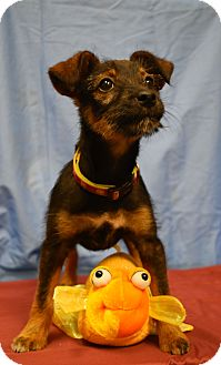 Terrier (Unknown Type, Small) Mix Puppy for adoption in Poteau, Oklahoma - Juliette