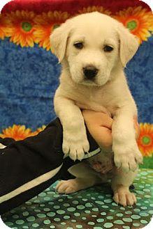 Labrador Retriever/Shepherd (Unknown Type) Mix Puppy for adoption in Hagerstown, Maryland - Pogo