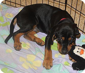 Rottweiler/Hound (Unknown Type) Mix Puppy for adoption in Staunton, Virginia - Cooper