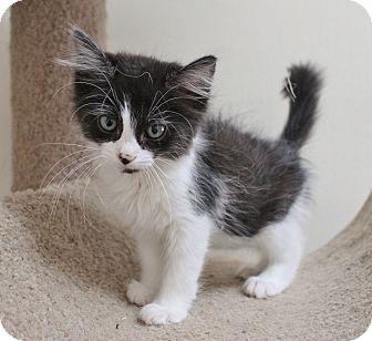 Domestic Mediumhair Kitten for adoption in Benbrook, Texas - Annie