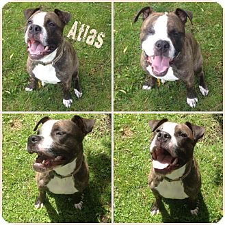 Boxer/English Bulldog Mix Dog for adoption in Cranston, Rhode Island - Atlas
