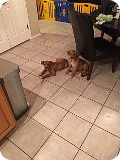 Labrador Retriever/Boxer Mix Puppy for adoption in Chandler, Arizona - Sugar n spice
