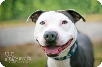 Pit Bull Terrier Mix Dog for adoption in Reisterstown, Maryland - Roscoe