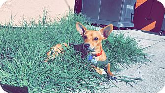 Chihuahua Mix Dog for adoption in San Dimas, California - Baby