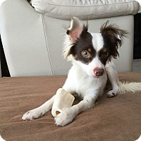 Adopt A Pet :: Latte - Oviedo, FL