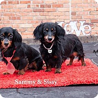 Adopt A Pet :: Sissy and Sammy - Shawnee Mission, KS