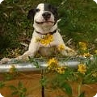 Adopt A Pet :: Bashful Bowie - Issaquah, WA