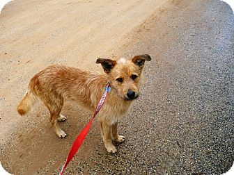 Airedale Terrier/Jack Russell Terrier Mix Dog for adoption in Wisconsin Dells, Wisconsin - Rascal