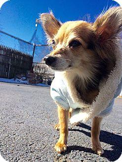 Papillon/Chihuahua Mix Dog for adoption in Oak Ridge, New Jersey - Dori