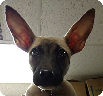 Urbi - Adoption Pending   Adopted Puppy   Troy, OH ...