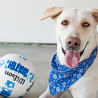 Labrador Retriever Mix Dog for adoption in Victoria, British Columbia - Beau