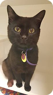 Domestic Shorthair Cat for adoption in Bellingham, Washington - Bob Marley