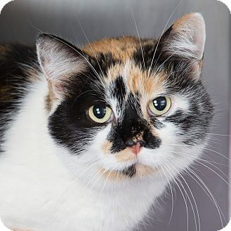 Calico Cat for adoption in Wheaton, Illinois - Twinkie