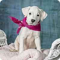 Adopt A Pet :: Katrina (puppy) - Iroquois, IL