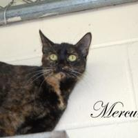 Adopt A Pet :: Mercury - Middleburg, FL