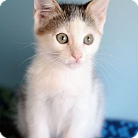 Adopt A Pet :: ASTEROID-GREAT MARKINGS! - Plano, TX