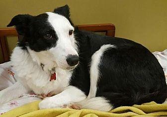 Border Collie Dog for adoption in Evansville, Indiana - Olivia