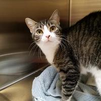 Adopt A Pet :: Little Miss - Chambersburg, PA