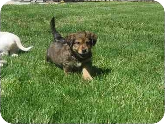 Yorkie, Yorkshire Terrier/Poodle (Miniature) Mix Puppy for adoption in Fenton, Missouri - Titan